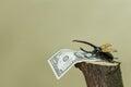 Bug on hemp with dollar Royalty Free Stock Photo