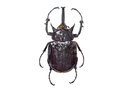 Bug isolated on white background Royalty Free Stock Photo