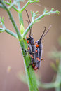 Bug large antennas having sex for reproduction on branches of fennel details and colors Royalty Free Stock Image