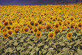 Bugaria Sunflowers Stock Image