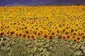Bugaria Sunflowers Stock Photography