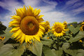 Bugaria Sunflowers Royalty Free Stock Image