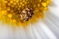 Bugged daisy macro shot of a varied carpet beetle on a white Stock Photo