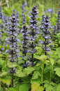 Bugle - Ajuga reptans Royalty Free Stock Images