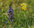 Bugle and cowslip ajuga reptans with primula veris Stock Photo