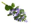 Bugleweed Flower Royalty Free Stock Photo