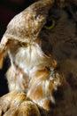 Buho de águila Fotos de archivo