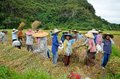 Bukit Tinggi, Indonesia - December, 20 2012 : Group of local people are working together harvesting paddy rice Stock Images