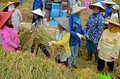 Bukit Tinggi, Indonesia - December, 20 2012 : Group of local people are working together harvesting paddy rice Royalty Free Stock Photography
