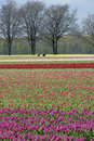 Bulb field with colorful tulips and bulbs pickers netherlands province limburg village herkenbosch municipality roerdalen a Stock Photo