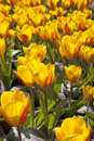 Bulb field with Dutch tulips Royalty Free Stock Image