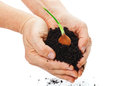 Bulb hands potting soil with and Royalty Free Stock Images