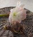 Bulbous plants and flower hippeastrum (amarillis) Royalty Free Stock Photo