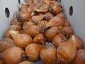 Bulbs irises of different grades Stock Photography