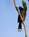 Bulbul beak Stock Photos