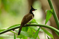 Bulbul Rouge-barbu (jocosus de Pycnonotus) Photographie stock libre de droits