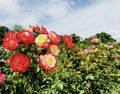 Bulgarian blooming red and yellow traditional symbolic rose Royalty Free Stock Photo