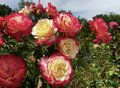 Bulgarian blooming red and yellow traditional symbolic rose closeup Royalty Free Stock Photo
