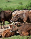 Bulgarian brown cows Stock Photo