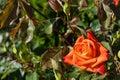 Bulgarian rose on a bush