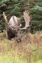 Bull Alaska Moose in velvet Royalty Free Stock Photo