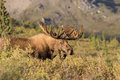 Bull Alaska Yukon Moose in Velvet Royalty Free Stock Photo