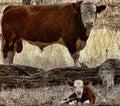 Bull and Calf Royalty Free Stock Photo