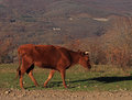 Bull calf walking by path Royalty Free Stock Photo