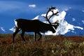 Bull caribou walking in front of Mt. McKinley (Rangifer tarandus Royalty Free Stock Photo