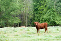 Bull in country pasture Stock Photography