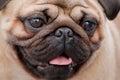 Bull dog Royalty Free Stock Photo