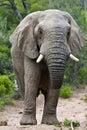Bull Elephant Royalty Free Stock Image