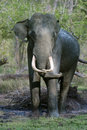 Bull elephant with locked tusks tusker its making handicap to throw mud freely to its body at kabani forests elephas maximus Stock Photography