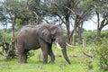 A Bull elephant with massive tusks Royalty Free Stock Photo
