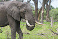 A Bull elephant with massive tusks Royalty Free Stock Photography