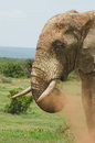 Bull elephant snorting dust mud caked snorts red from it s trunk in south africa Royalty Free Stock Photo