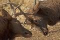 Bull elk with antlers locked. Royalty Free Stock Photo