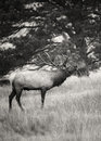 Bull elk breath black and white image of a bugling on a cold morning with his showing rocky mountain national park colorado during Stock Images