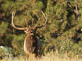 Bull Elk Bugling Stock Photography