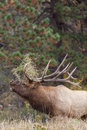 Bull Elk Bugling Close Up Royalty Free Stock Photo