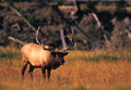 Bull Elk Bugling in Meadow Royalty Free Stock Image