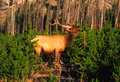 Bull Elk Bugling in Pines Royalty Free Stock Image