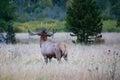 Bull elk bugling at sundown Royalty Free Stock Photo