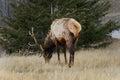 Bull Elk Eating