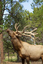 Bull elk eating leaves a big off a bush Stock Photography