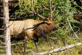 Bull elk a emerging from thick cover Stock Images