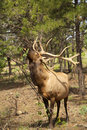 Bull elk feeding on leaves a big eating off a bush Royalty Free Stock Photography