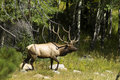 Bull elk in forest Royalty Free Stock Image