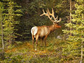 Bull elk in forest adult browsing by sunset Royalty Free Stock Image