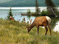 Bull elk grazing Royalty Free Stock Photo